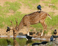 Deer female. Surronded with birds near pool Stock Photography