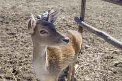 The deer female close-up Greece. Beige, cute, beautiful deer female close-up Greece on the farm, side view stock photos