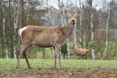 Deer female Royalty Free Stock Images