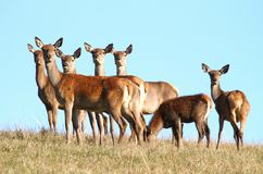 Deer females. Many deer females on pasture Royalty Free Stock Photography