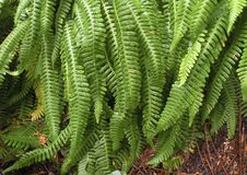 Deer Fern (Blechnum spicant ) Royalty Free Stock Images