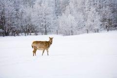 Deer in the field Stock Image