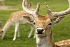 Deer in field Royalty Free Stock Images