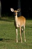 Deer in field Stock Photography