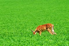 Deer in Field Stock Photography