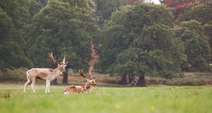 Deer in field Royalty Free Stock Images