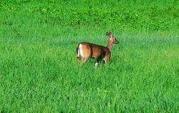 Deer in the field Stock Photography