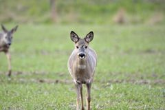 Deer in the field. Looking for food Royalty Free Stock Image