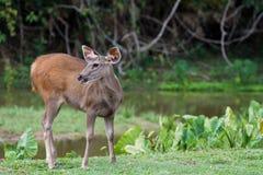 Deer in the field Stock Photos