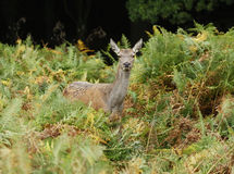 Deer in field of green ferns. A female red deer in a field of ferns, knebworth, hertfordshire england, europe Royalty Free Stock Photography