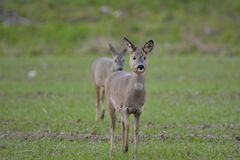 Deer in the field. Looking for food Stock Photos