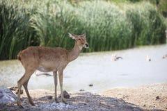 Deer in field Stock Images
