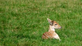 Deer in the field (The Netherlands). Deer in the field on a sunny day (The Netherlands Royalty Free Stock Photos
