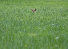 Deer in a field. A photo of a deer in a field Royalty Free Stock Photo