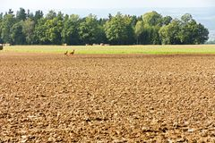 Deer in the field Stock Images