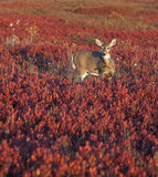 Deer in field of red. A single whitetail deer in a sea of red blueberry bushes. Shenandoah National Park, Virginia Royalty Free Stock Photo
