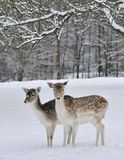 Deer in field in snow Stock Photos