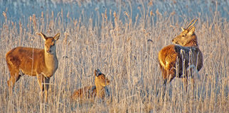 Deer in a field at sunrise Stock Photography