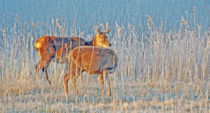 Deer in a field at sunrise Stock Images