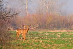 Deer on the field Royalty Free Stock Image