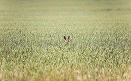 Deer in field of wheat stock image
