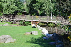 Deer in Prague Zoo Royalty Free Stock Photos