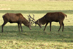 Deer Fight. Two Deer Lock Antlers in a Confrontation Stock Photo
