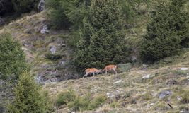 Deer fight on the alps. And trees stock image