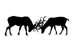 Deer  fighting. Black silhouettes of deer  fighting isolate on white Stock Photography