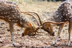 Deer Fighting. 2 deers ready to start a fighting Stock Image