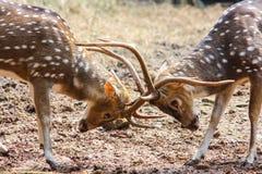 Deer Fighting. 2 deers ready to start a fighting stock image