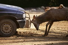 Deer fighting with a car, power combat. Deer fighting with a car, power competition combat outdoors Stock Images