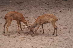 Deer Fighting. Deer are fighting or playing. The brown animal are the friendly creature for the forest as well as human Stock Images