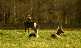 Deer flock Royalty Free Stock Images