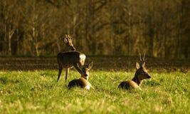 Deer flock. In natural habitat Royalty Free Stock Images