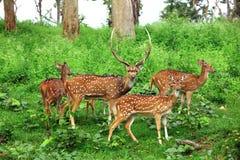 Deer flock in natural habitat Royalty Free Stock Image