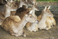 Deer flock in natural habitat Royalty Free Stock Photos