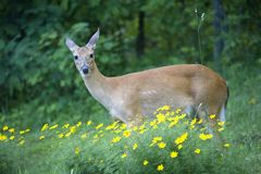 Deer in the flowers. Whitetail doe in the middle of the flowers stock image
