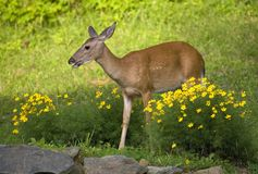 Deer in the flowers. Whitetail doe that's gotten into the garden stock image