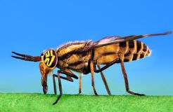 Deer Fly Close-up Royalty Free Stock Photos