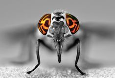 Deer Fly Eyes Stock Photos