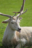 Deer with focus on tongue. Seated Deer with focus on tongue Royalty Free Stock Image