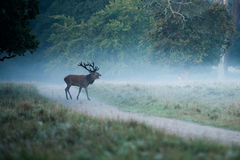 Deer in foggy forest Stock Photos