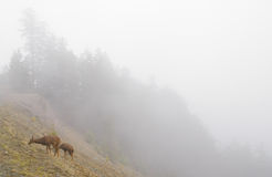 Deer on a foggy mountainside Stock Photography