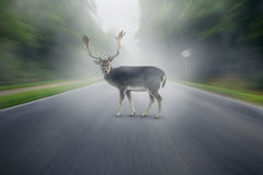 Deer. On the foggy street Stock Photo