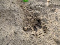 Deer footprint Stock Photography