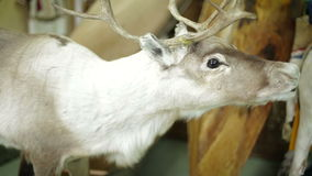 Deer foraging for food in the snowy woods. Deer foraging for food in the snowy woods stock video footage