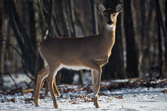 A Deer in the Forest. Whitetail deer in the forest looking into the camera Royalty Free Stock Photo