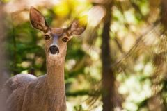 Deer in forest Royalty Free Stock Images