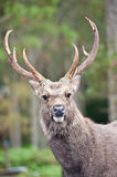 Deer in forest Royalty Free Stock Photos